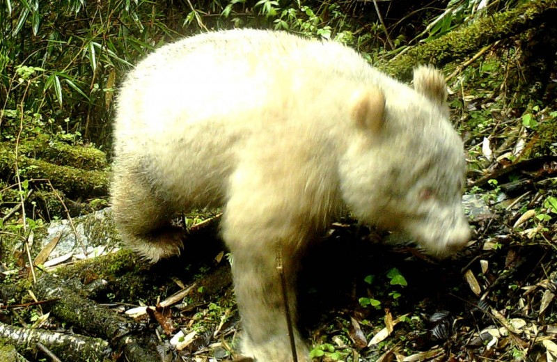 Панда-альбинос впервые попала на снимок фотоловушки