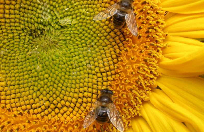 Пчел можно дрессировать, побуждая собирать пыльцу определенных растений