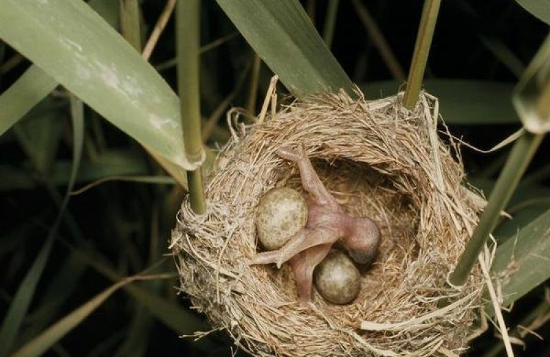 Пернатые эгоисты: как кукушата избавляются от соперников