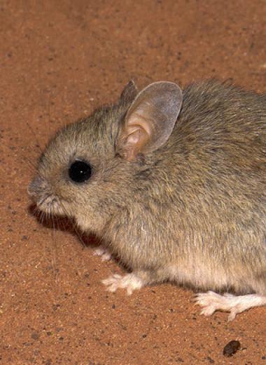 Самцы живущих в суровом климате австралийских грызунов отрастили крупные семенники