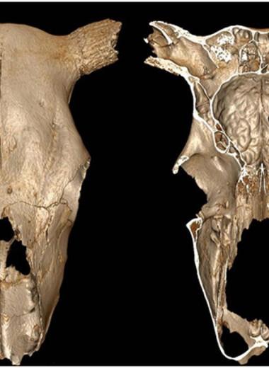 Самая древняя ветеринарная операция? Находка из Франции