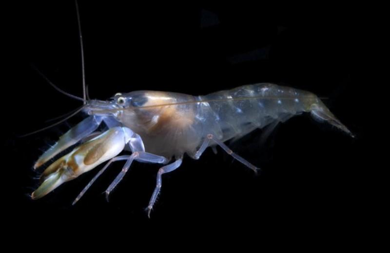 Креветки-щелкуны отличились самым быстрым зрением среди водных животных