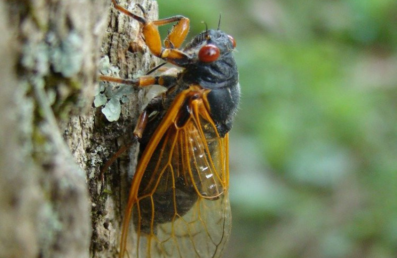 США готовятся к новому нашествию цикад
