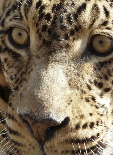 Любовь на троих в мире леопардов: как звери удивили ученых