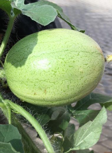 Диким предком арбуза оказался кордофанский арбуз из Судана