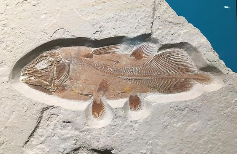 Окаменелость огромной рыбы возрастом 66 миллионов лет случайно нашли в частной коллекции