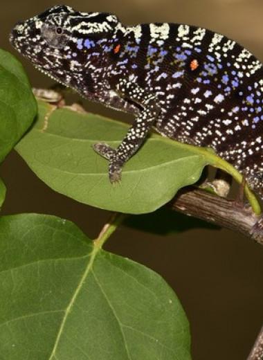 Считавшегося вымершим мадагаскарского хамелеона переоткрыли спустя сто лет