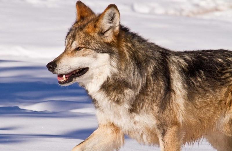 Численность редких мексиканских волков в США удвоилась за пять лет