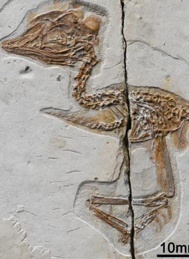 Череп тираннозавра на теле воробья: необычная находка в Китае
