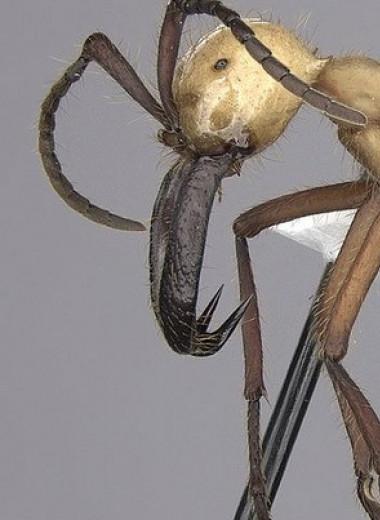 Тайники с добычей помогли кочевым муравьям эффективнее разорять колонии других видов муравьев