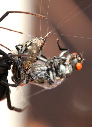 Черная вдова: чем живет один из самых опасных пауков на свете
