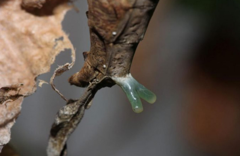 Амазонские богомолы манят самцов странными железами с феромонами