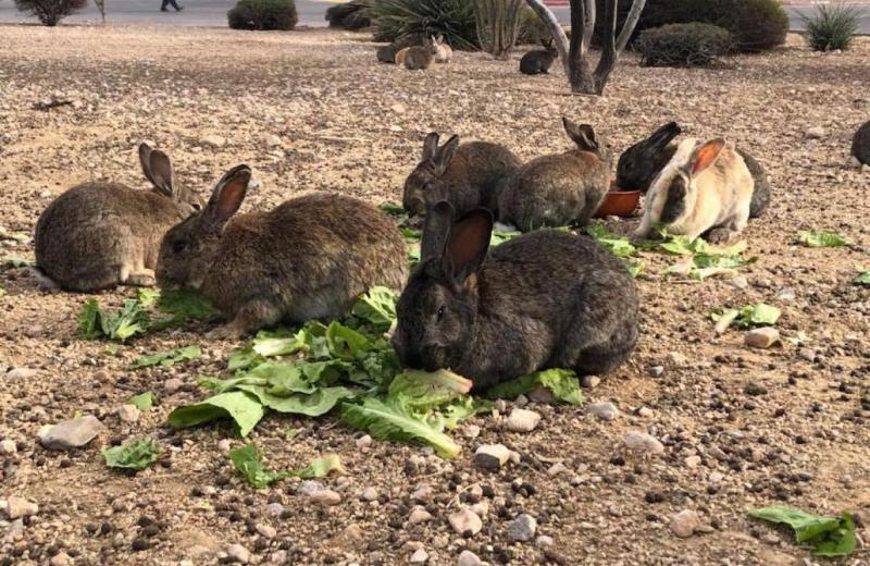 Зачем в Лас-Вегасе отравили десятки кроликов?