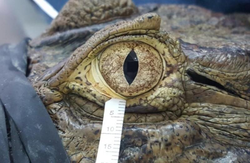 Крокодиловы слезы оказались почти идентичны человеческим