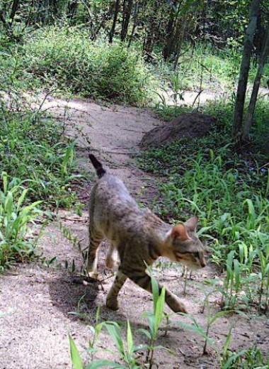 Загадка «кошачьей диаспоры» на Мадагаскаре