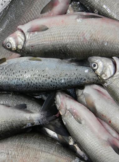 Аппетиты человека ставят рыб на грань уничтожения