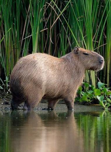 Капибара – самый большой грызун на Земле