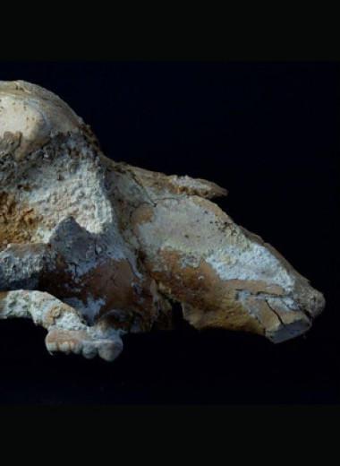 Уральские археологи обнаружили первый случай древней охоты на малого пещерного медведя