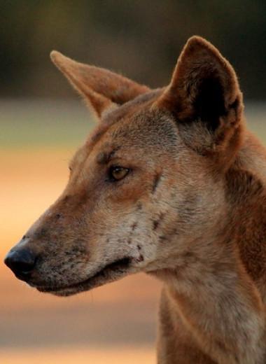 Австралийские биологи опровергли редкость чистокровных динго