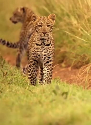 Первая охота юного леопарда: видео