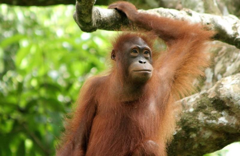 «Центр великих обезьян»: куда попадают приматы после съемок в фильмах и клипах