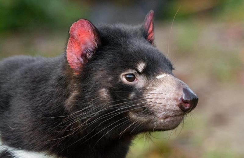 Тасманийские дьяволы начали размножаться после возвращения на материковую Австралию