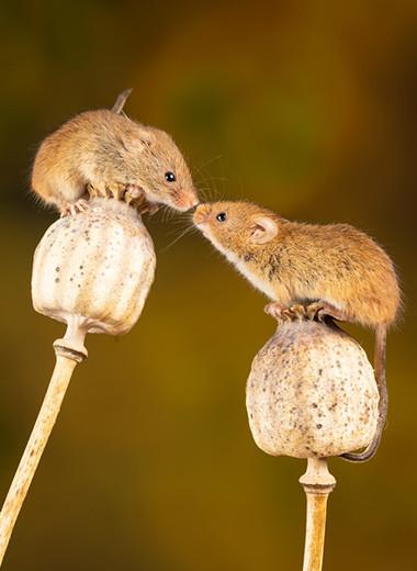 Ослабленная связь коры и таламуса нарушила социализацию мышей