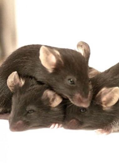 Мыши способны облегчить боль друг друга