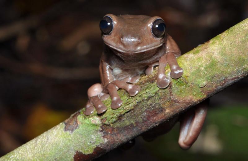 «Странная» шоколадная лягушка нашлась в Новой Гвинее
