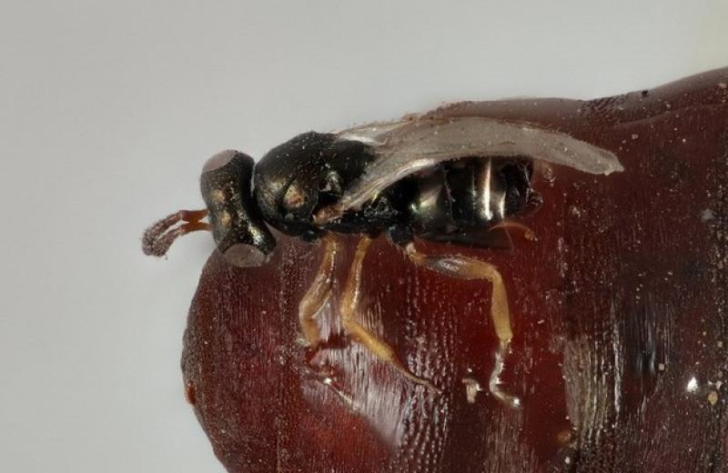 Наездники-самцы унюхали половозрелых самок под защитной оболочкой мушиных куколок
