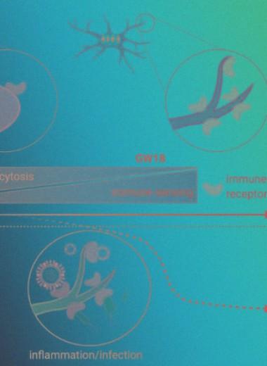 Человеческая микроглия получила раннюю специализацию