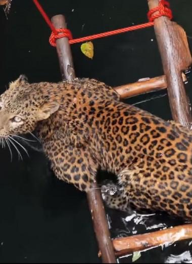 Спасение упавшего в колодец леопарда: видео
