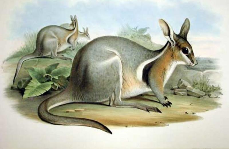 Доращивание молодых особей в неволе увеличило численность редких короткокоготных кенгуру