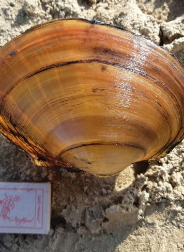 Гигантские инвазивные моллюски из Китая угрожают экосистемам Волги