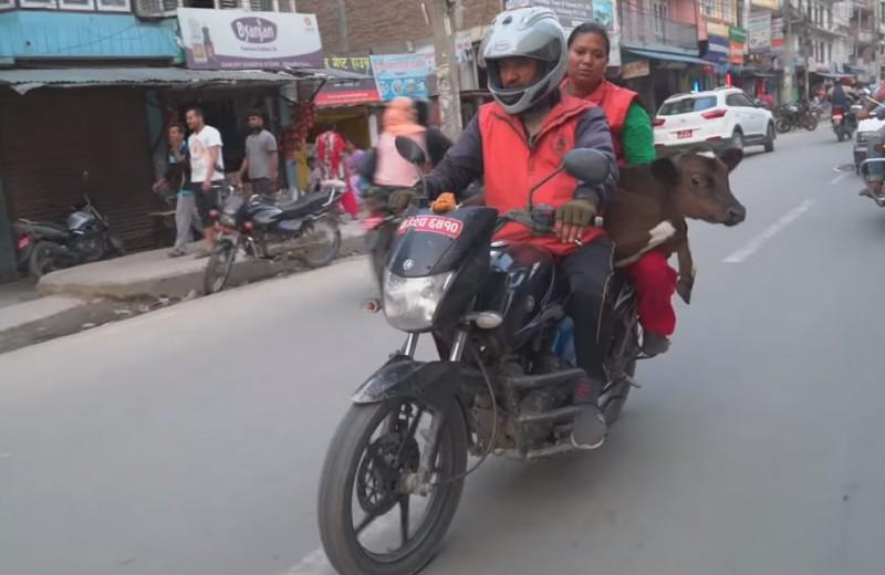 Житель Непала на мотоцикле спасает бездомных коров