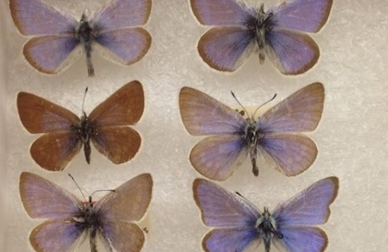 Музейный образец возрастом более 90 лет подтвердил видовой статус вымершей голубянки Ксеркса