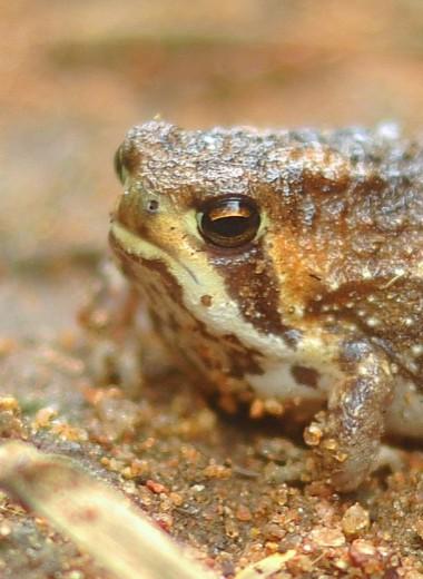 Африканские узкороты: самые угрюмые лягушки