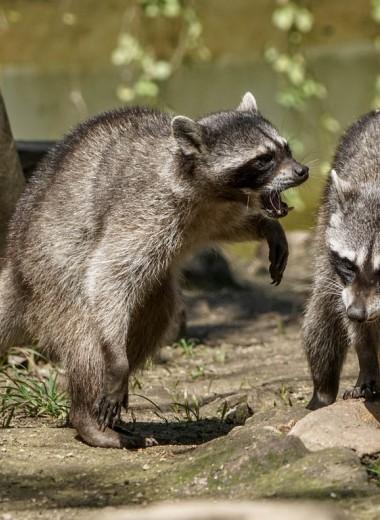 В Сочинском парке объявлена охота на енотов