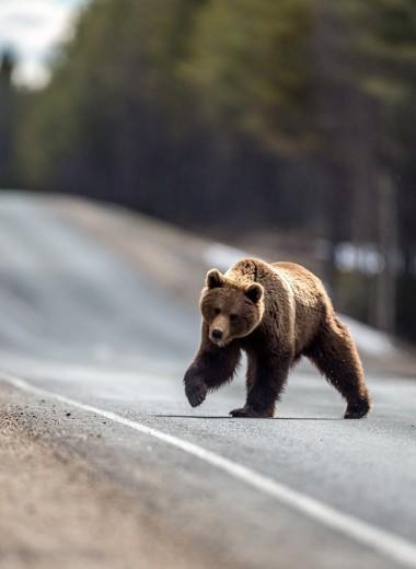 Медведи все чаще нападают на людей. С чем это связано?