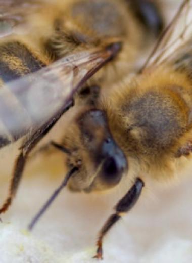 У зараженных пчел обнаружили повышенный уровень феромона тревоги
