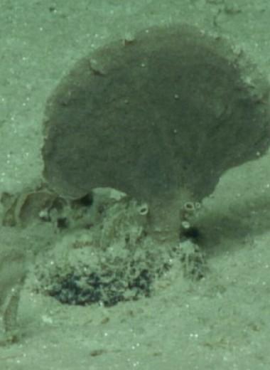 Ученые описали четыре новых вида ксенофиофор со дна Тихого океана