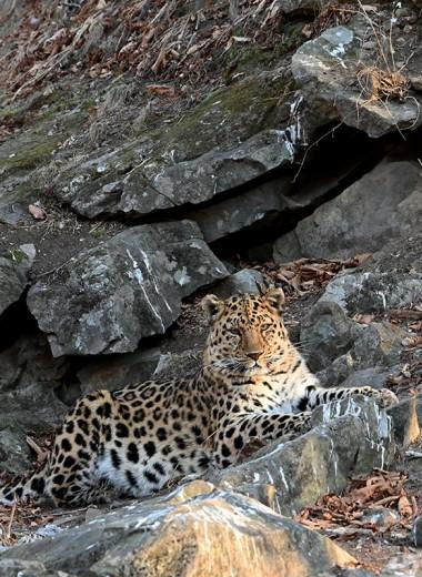 Фотографам удалось запечатлеть редчайшего леопарда в приморском нацпарке