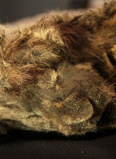 Палеонтологи изучили пещерного львенка из Якутии: что нам теперь известно
