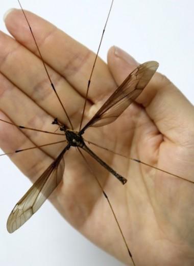 Самый большой в мире комар пойман в Китае