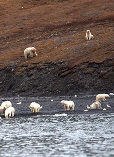 230 белых медведей пируют на острове Врангеля: фото