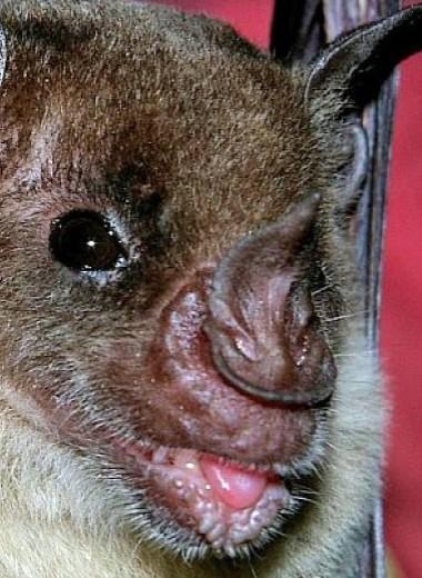 Летучие мыши понизили голос ради бананов