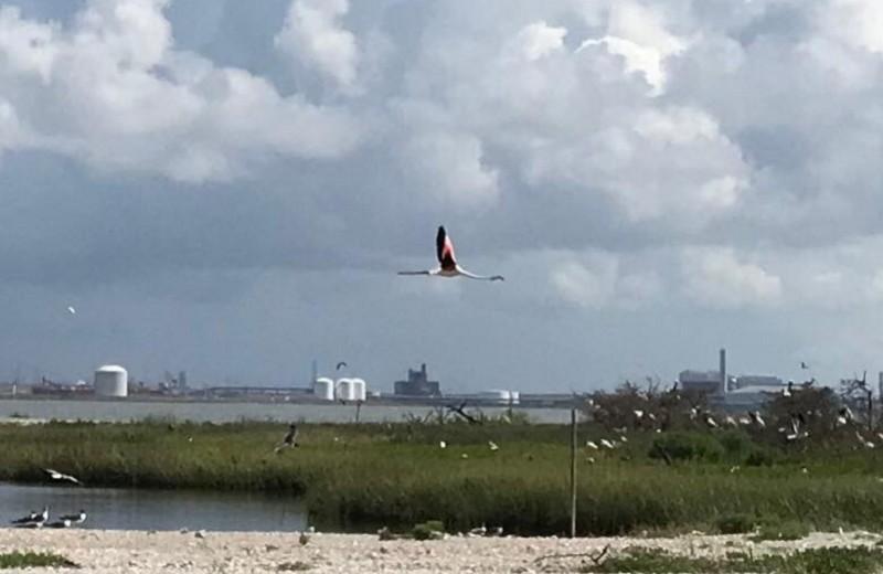 Розовый и неуловимый: в Америке замечен фламинго, сбежавший из зоопарка 13 лет назад