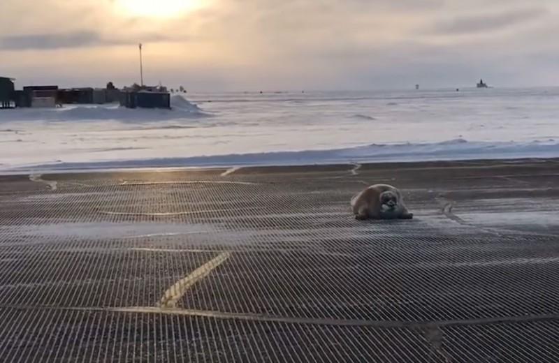 Кит, заяц, тюлень и другие животные, которые задержали авиарейсы