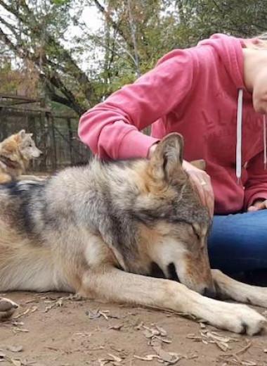 Волки привязались к дрессировщикам