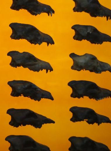 Генетические тайны ужасных волков